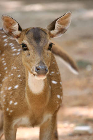 Portrait of spotted deer Stock Photo - 441076