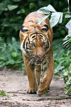 gait: Adult Indochinese tiger on the prowl Stock Photo