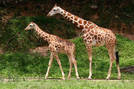 Pair of parent and child Giraffes photo