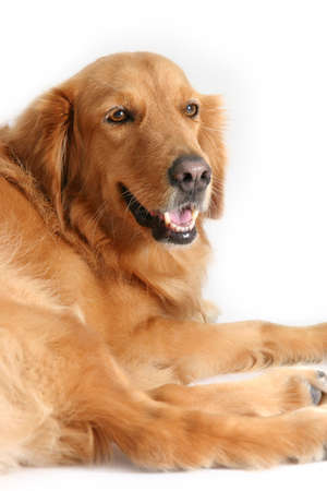 behave: Golden retriever lying down