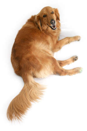 behave: Golden retriever lying down looking upwards at the camera. Stock Photo