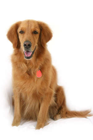 behave: Golden Retriever sitting up