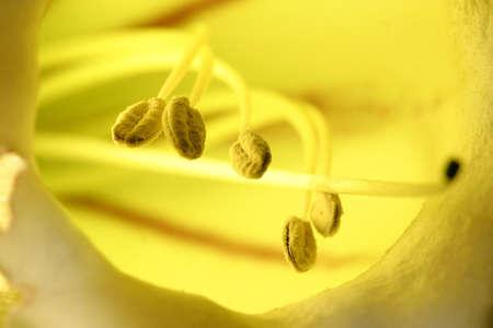 Stamen of Golden cup flower