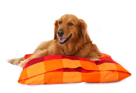 behave: Golden Retriever lying down on a checked red & orange cushion