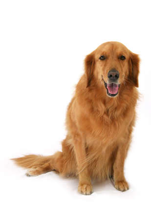 behave: Golden Retriever sitting up smiling Stock Photo