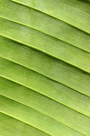 broad leaf: Ridged patterns on underside of a broad banana leaf Stock Photo
