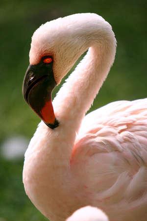 Portrait of a Flamingo photo