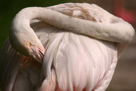 Flamingo priming its hind feathers photo