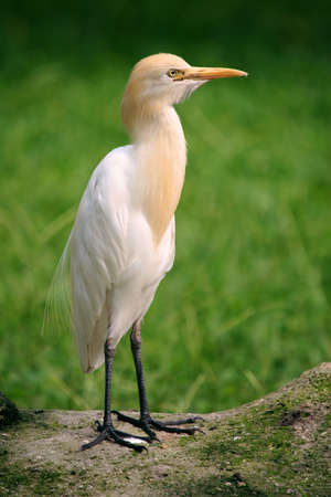 Small Egret standing on a rock with a grassy plain background photo