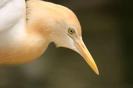 Close-up headshot of Egret photo