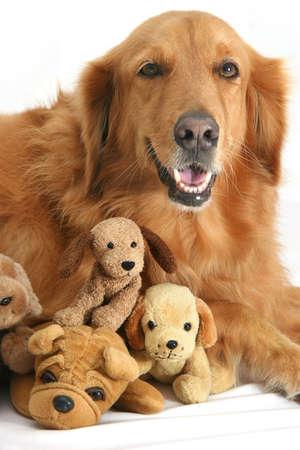 portraiture: Golden retriever posing with doggie soft-toys.