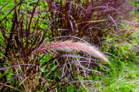 graden: Grass flower in graden