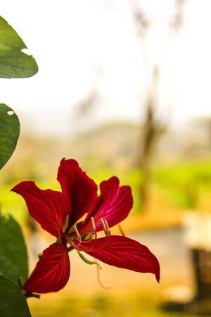 pedicel: Red flower Blooming