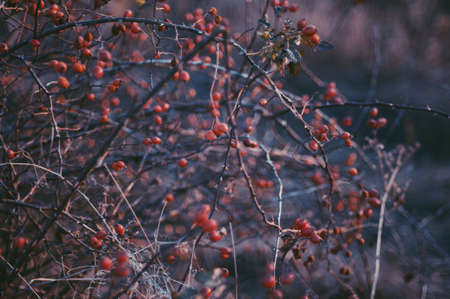 briar bush: Briar bush with berries - healing. Rose hips dogrose Briar growing on the bush. Bunch of red rowan with red berries. Fall background with  red berries, autumn tree. Wild rosehips in nature.