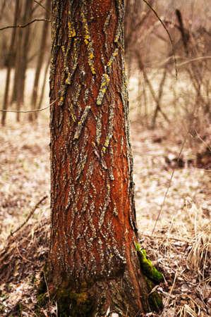 bark background texture: Tree bark texture. Bark of Pine Tree. Tree bark texture wallpaper. Wooden texture. tree bark texture. Birch Tree. bark background texture pattern. Tree bark in the forest Stock Photo