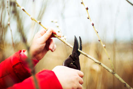 tree cutting: The gardener cuts the branches of trees in the garden. Pruning trees by pruning shears. Pruning an fruit tree - Cutting Branches at spring. cutting branches in vineyard in spring