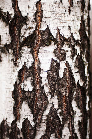 bark: Tree bark texture. Bark of Pine Tree. Tree bark texture wallpaper. Wooden texture. tree bark texture. Birch Tree. bark background texture pattern. Tree bark in the forest Stock Photo