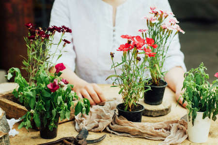 plant nature: Gardener doing gardening work at a table rustic. Working in the garden, close up of the hands of a woman cares flowers carnations. Womans hands. Garden tools with flowers. Stock Photo