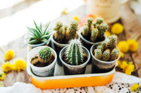 flowerpots: Various cactus plants, selective focus. Cactus and succulents collection in small flowerpots. The rustic interior.