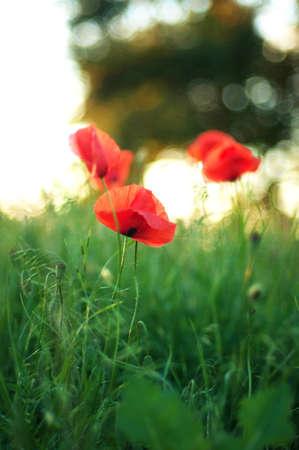 oil rape: Red poppy blooming on field. Red poppy flowers in the oil seed rape fields. poppy flower