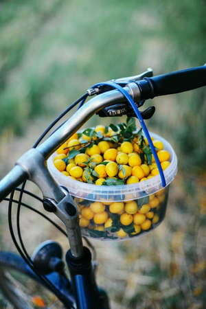 collected: Various colorful summer fruit on outdoors. Homegrown organic yellow plums collected from yard. Basket with ripe greengage plums, mirabelles in the garden.