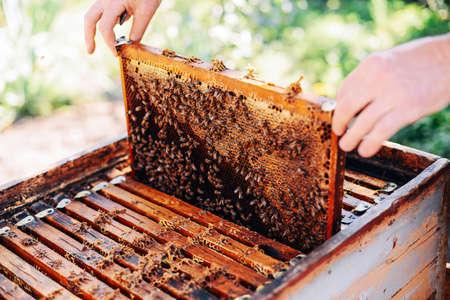 Cadres d'une ruche d'abeilles. Apiculteur miel de récolte. Le fumeur d'abeille est utilisé pour calmer les abeilles avant de les enlever du cadre. Apiculteur Inspecter Bee Hive Banque d'images - 62182656