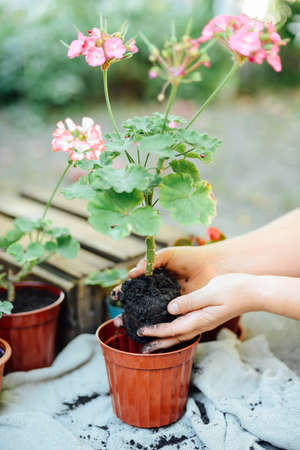 beton: Womans hands transplanting succulent into new pot. Gardening outdoors on a beton table. Stock Photo