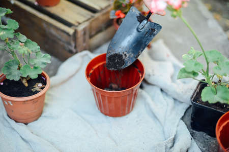 Womans hands transplanting succulent into new pot. Gardening outdoors on a beton table. Stock Photo