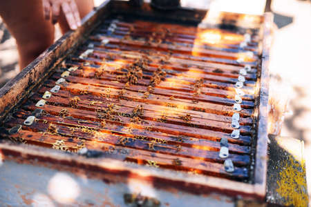 Frames of a bee hive. Beekeeper harvesting honey. The bee smoker is used to calm bees before frame removal. Beekeeper Inspecting Bee Hive