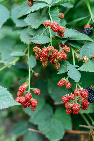 Blackberries on a branch in the garden.  Ripe red, black and purple raspberries are pictured against a lush green backdrop. Stock Photo