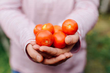 Farmers hands with freshly harvested tomatoes and pepper. Freshly harvested tomatoes in hands. Young girl hand holding organic green natural healthy food produce pepper. Woman holding cherry tomatoes Stock Photo