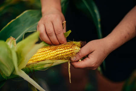Farmer holding  corn cobs in hand in corn field. A close up of an woman hands holds a corn. Farmer on the corn field with ear of corn in hand 스톡 콘텐츠