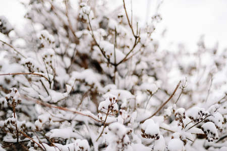First snow stuck on the branches of trees. Frost and cold day. Stock Photo