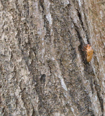 minutiae: cicada insect molt on the tree