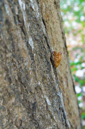 intonation: cicada insect molt on the tree