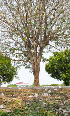 agricultural essence: dry wood tree spring in thailand