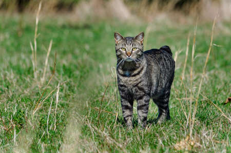 Manx cat walking in field Stock Photo