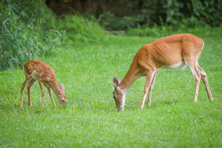 Whitetail deer doe and fawn grazing together