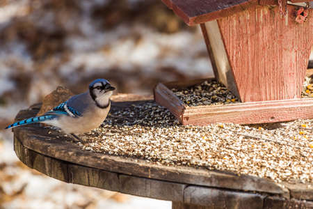 Blue jay at a bird feeder