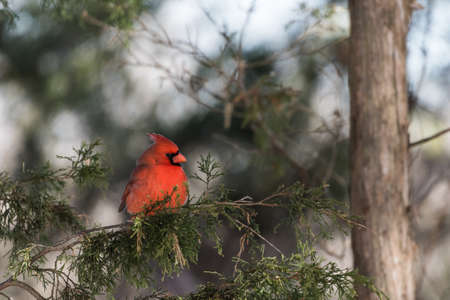 Male northern cardinal sits on gree cedar branches Stock Photo