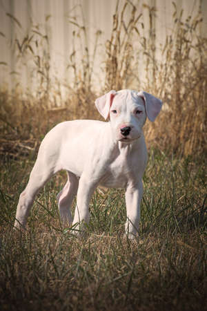 Dogo Argentino puppy or young dog standing in grasses. Stock Photo