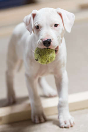 Dogo Argentino white puppy dog holding a green tennis ball Stock Photo