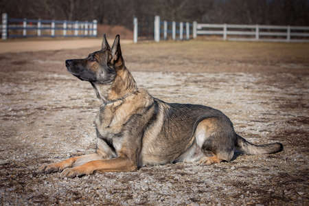 German shepherd dog laying down in a gravel area.