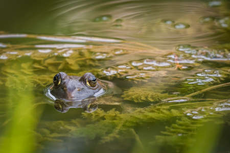 American Bullfrog in the water with just its eyes out of the water with a reflection