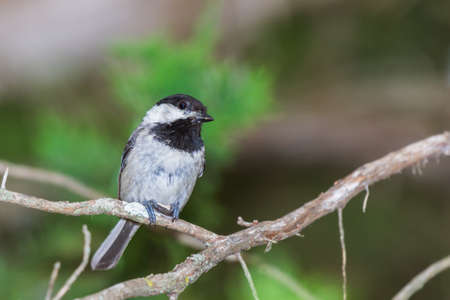 Black capped chickadee holding a seed while perched on a limb Stock Photo