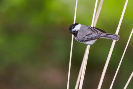 Black capped chickadee hanging sideways on dried twigs