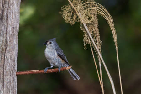 Tufted titmouse perched on a stick