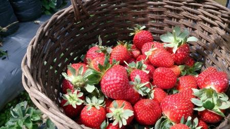 plucked: Basket of freshly plucked strawberries