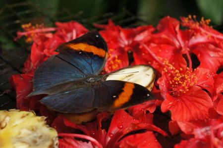 black orange butterfly feeding on banana photo