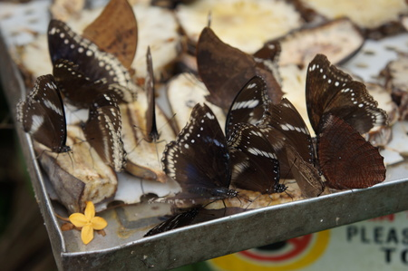 perch dried: brown butterflies on feeding tray Stock Photo